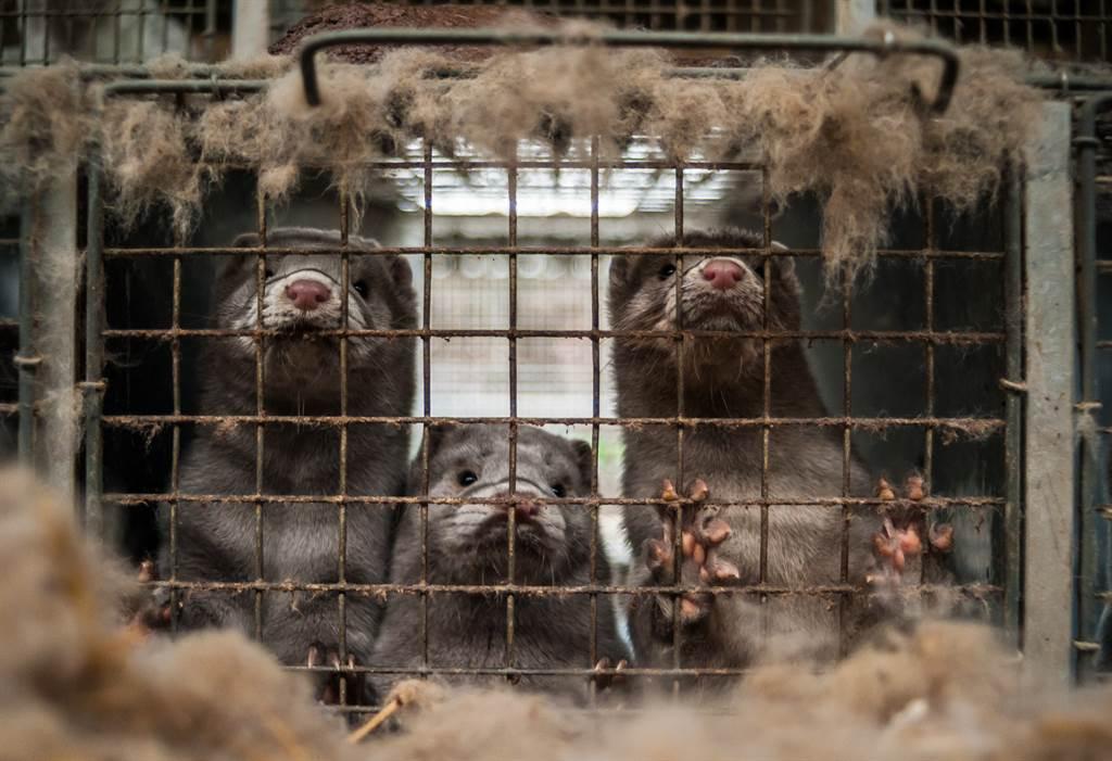 猶他州的皮草農場傳出水貂感染新冠病毒死亡,成為全美首個爆發水貂染疫的州。(圖/達志影像)