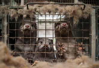 水貂也哭哭 全美至少1萬隻染新冠病毒而亡