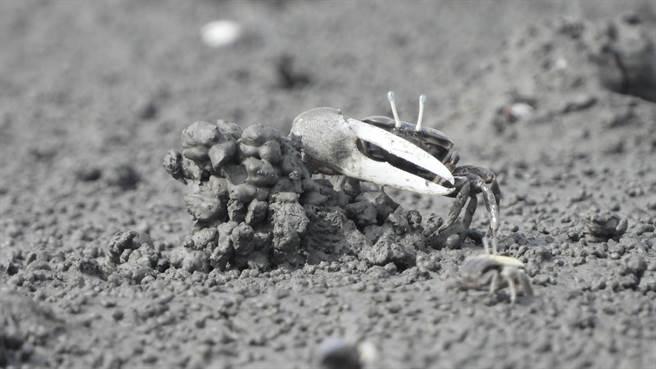 大城鄉濁水溪出海口是許多魚蝦、螃蟹的棲地,生態豐富,更有大量台灣招潮蟹在此繁殖。(彰化縣環境保護聯盟提供/謝瓊雲彰化傳真)