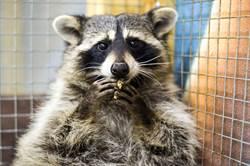 美國浣熊偷渡躲冷凍貨櫃爽吃35天 越南人一打開傻眼