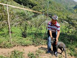 甜柿成熟時引猴群覬覦 果農派犬防猴
