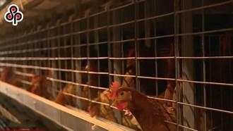 疫情趨緩白肉雞開始增產 價格穩定下降