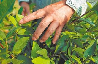 全球茶葉疫外大漲