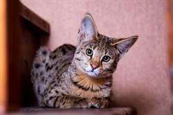 夫妻花20萬網購品種貓 養幾天驚覺不對結局悽慘