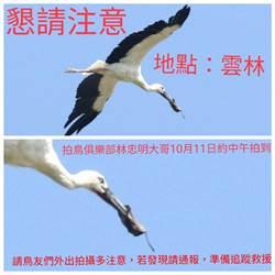 珍稀鳥類東方白鸛嘴喙卡套 鳥友全面救援