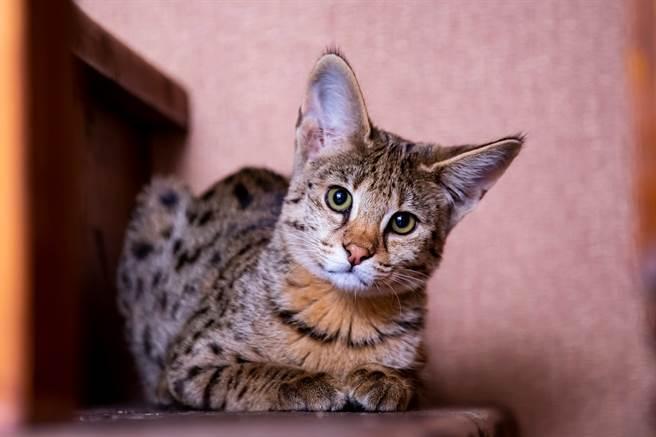 夫妻花20萬網購品種貓 養幾天驚覺不對結局悽慘(圖為熱帶草原貓/達志影像)