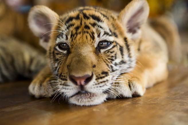 法國夫妻收到的寵物 真實身分為蘇門答臘虎(圖/達志影像)