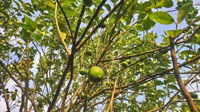 悠樂友善農場捐檸檬義賣,助獨老送餐經費。(大樹社會企業提供/柯宗緯高雄傳真)