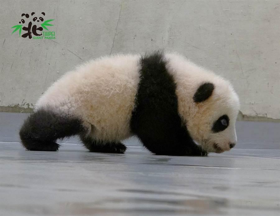 圓寶會走路了 全身搖晃猛跌賣力練習拒當「拖把熊」(圖/臺北市立動物園提供)
