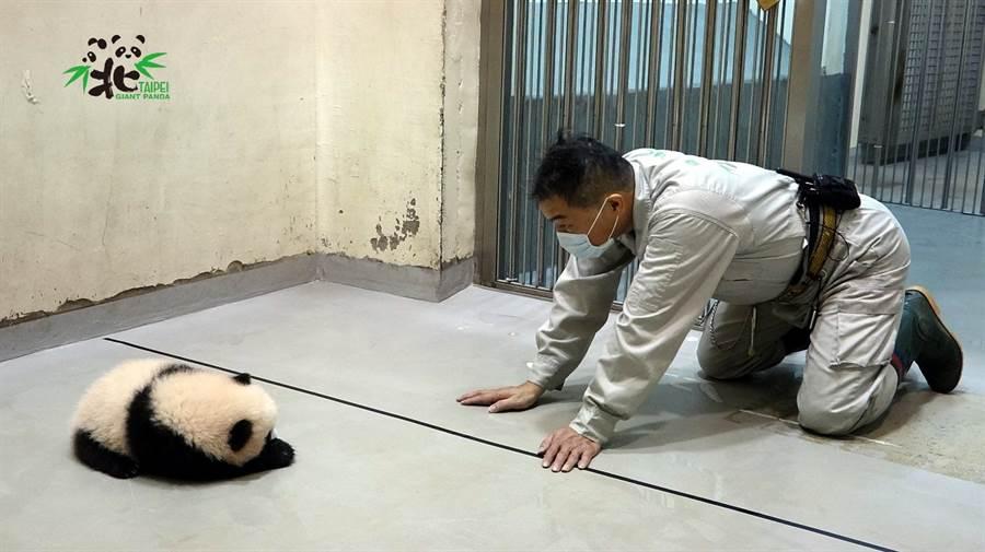 圓寶走累了就會停下來休息(圖/臺北市立動物園提供)