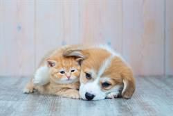 柯基想出小木屋 貓總裁伸毛掌霸氣撈回「熱情纏綿」