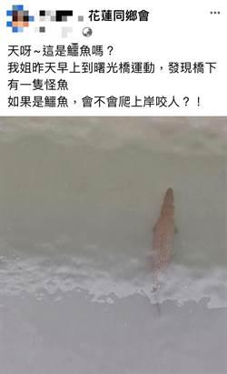 民眾棄養大型魚「鱷魚火箭」 晨運民眾誤認嚇壞