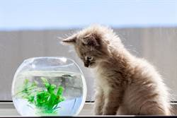 「貓把金魚當同伴」看魚游泳嗨到陪搖 一摔秒懂誤會了