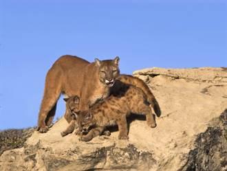 山林遇美洲獅寶寶慘遭盯上 母獅「咆哮尾隨」生死6分鐘曝光