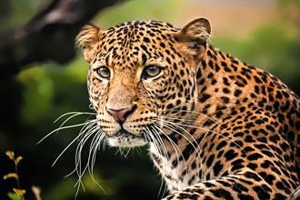 豹剛睡醒舔腳被鬣狗偷窺 下秒「嚇壞變小貓」跳起來
