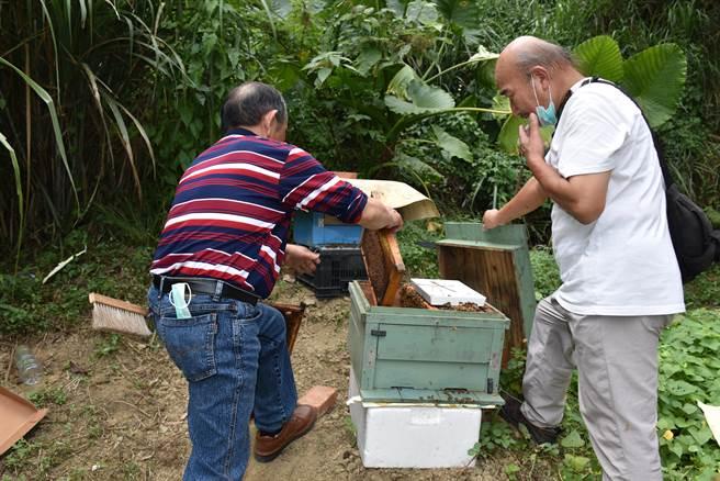 獅潭百壽村賽夏族長老豆鼎發(左)帶頭開始養蜂。(謝明俊攝)