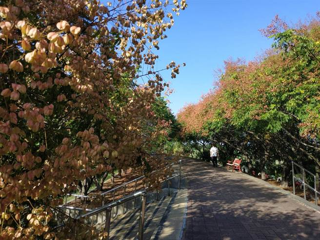 雲林縣北港鎮北港堤防「欒樹大道」,是入秋的賞花祕境。(張朝欣攝)