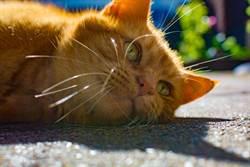 貓咪為何這麼不會過馬路?網揭殘酷本能:專門往車撞