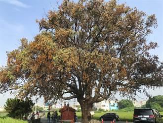 雲林虎尾百年樟樹疑染樹癌 公所急徵樹醫生搶救