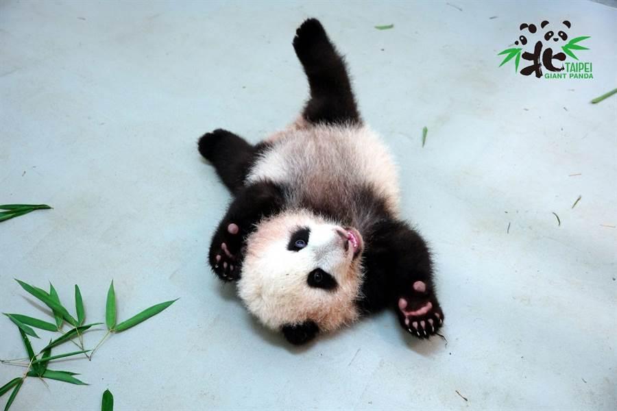 很多遊客會以「小貓熊」來稱呼大貓熊寶寶(圖/臺北市立動物園提供)