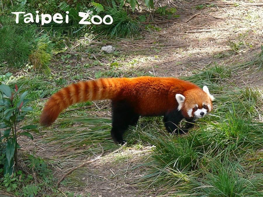 樹棲的小貓熊有長尾巴保持平衡(圖/臺北市立動物園提供)