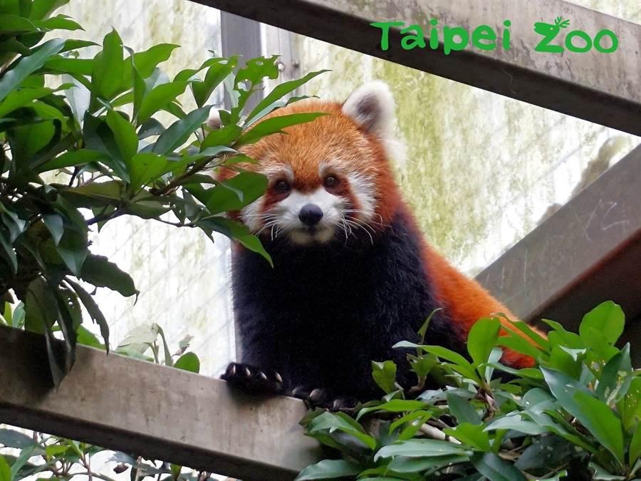 小貓熊又分為2種:「中華小熊貓」和「喜瑪拉雅小熊貓」(圖/臺北市立動物園提供)