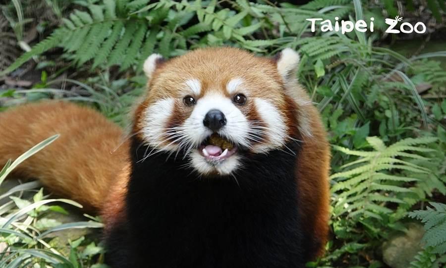 目前小貓熊野外族群數量不到1萬隻 被列為「瀕危」(圖/臺北市立動物園提供)