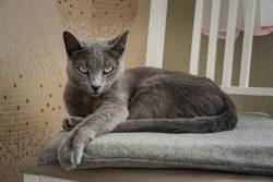 偷吃被抓包主人遠端訓話 藍貓不屑逼視鏡頭憤怒爆表