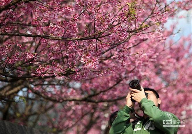 台灣的陽明山國家公園因比鄰市區、鬧中取靜、環境清幽,2020年被美國科學家列為「世界第一個都市安靜園區」。圖為陽明山花季。(本報資料照/王錦河攝)