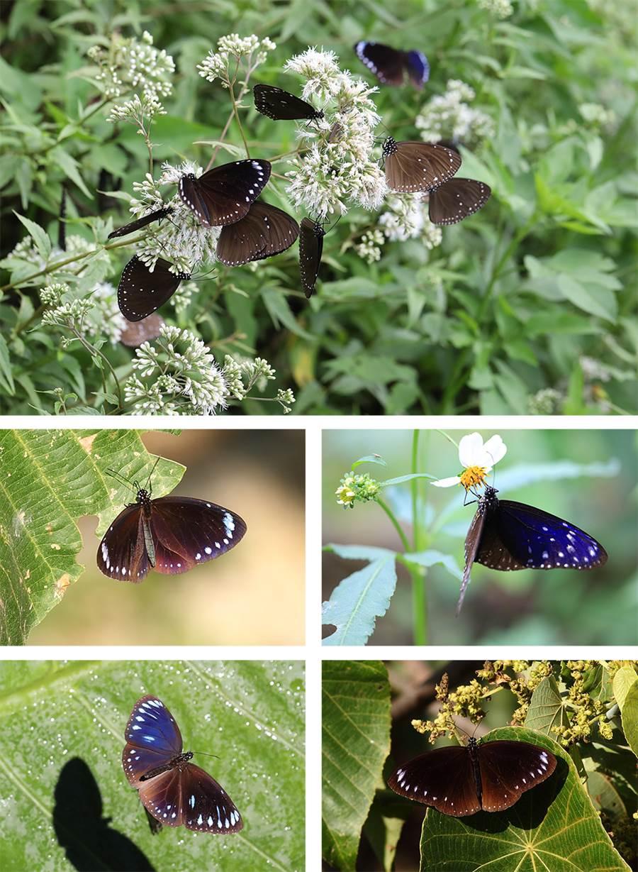 每年十一月至翌年三月,來茂林欣賞美麗的紫斑蝶。(照片提供/台灣紫斑蝶生態保育協會)