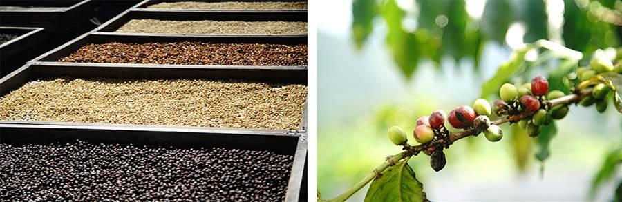 咖啡採收期從九月到翌年二月,陽光下的蜜處理、日曬豆、水洗豆呈現不同風貌。(圖/曾信耀攝)