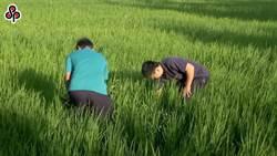桃竹苗停灌1.9萬公頃 水稻每公頃補償14萬
