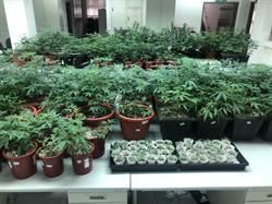 大麻氣味太剌鼻 警循線查獲467株大麻