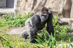 金剛猩猩「寶寶」遠赴荷蘭把妹 「做猩」成功明年當爸