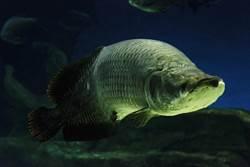 150公分象魚詭異逃缸摔死 網:幫飼主擋煞了