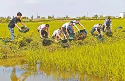 沙溪鎮稻田稻蝦共作將迎豐收