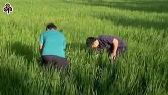 桃竹苗1萬9000公頃即日停灌  水稻每公頃可領14萬元補償