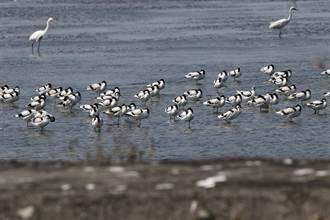 布袋鹽田溼地冬候鳥點點名 大批反嘴鴴來報到