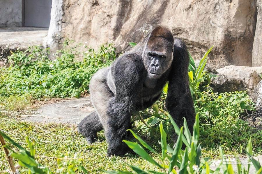 金剛猩猩「寶寶」擔下繁殖重負,遠赴荷蘭娶妻2年終於傳出好消息(台北市立動物園提供)