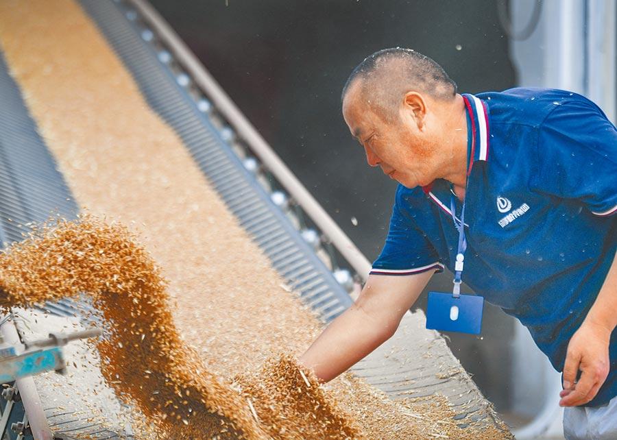 北京一對白領夫妻憂開戰,租小倉庫囤糧。圖為成都糧倉保管員檢查入庫糧食的品質。(新華社資料照片)