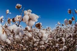 煤炭中槍後 傳大陸要求企業暫停購買澳洲棉花