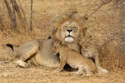 公獅想放風被跟蹤「暴衝甩開」轉頭見4幼獅屁顛追上崩潰