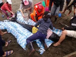 雙鯨擱淺八里海岸 警所長熱心加入救援行列