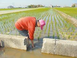桃竹苗停灌 水稻每公頃補14萬