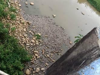 疑水中溶氧量不足 楊梅老飯店橋下出現上千死魚