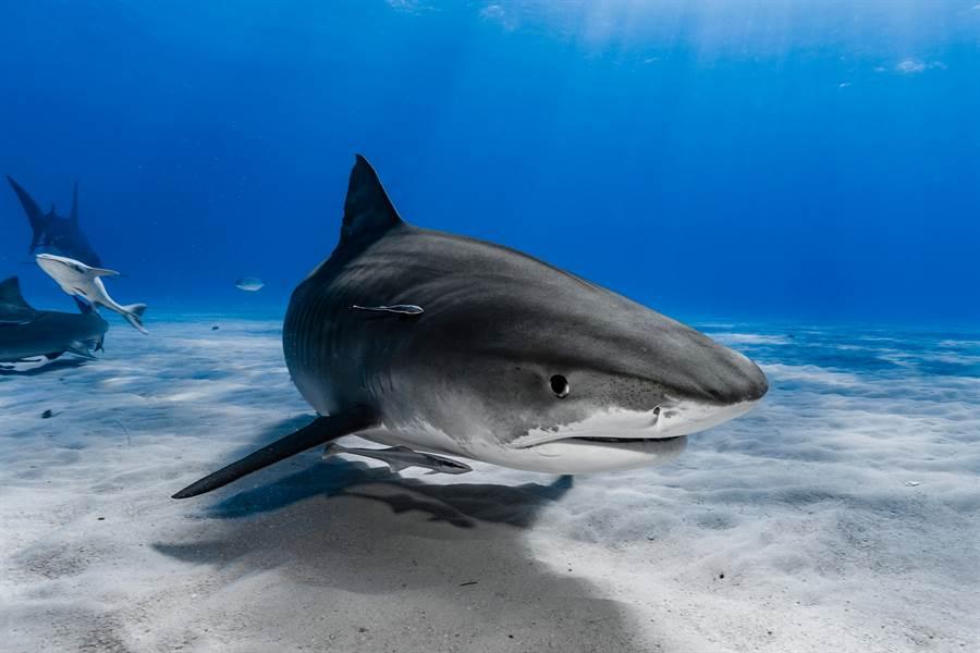 幼鯊全身呈現乳白色,額頭中間只有一顆眼睛,看起來很像外星生物(示意圖/達志影像)