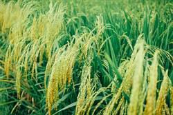 陸玉米價格創近4年新高 加工下游產品同漲