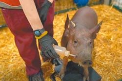 人物剪影》特斯拉、Neuralink創辦人穆斯克聚焦AI生技 在小豬腦內植入晶片
