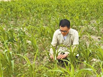 新品種稻米 省水抗病長得快