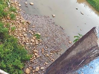 楊梅老飯店橋下 浮大片死魚